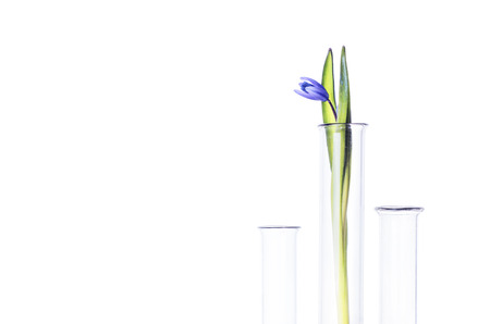 phytology: Flower (bluebells) in a test tube isolated on white background. Scientific Experiment. Blue snowdrop flowers in a glass vase. Spring still life with bluebells. Siberian squill or Scilla siberica.