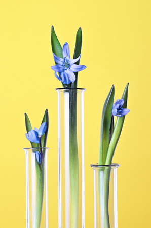 phytology: Three flowers in a test tubes on a yellow background. Scientific Experiment. Blue snowdrop flowers in a glass vases. Spring still life with bluebells. Siberian squill or Scilla siberica.