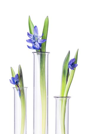 phytology: Three flowers bluebells in a test tubes isolated on white background. Scientific Experiment. Blue snowdrop flowers in a glass vases. Spring still life with bluebells. Siberian squill or Scilla siberica.