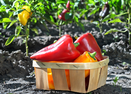 Freshly plucked sweet pepper in a basket in the garden. Outdoors. Autumn garden with sweet pepper. Vegetables basket in the vegetable garden. Freshly harvested vegetables.