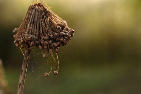 Dry inflorescence of onions with seeds and with spider silk on a blurred bright background, close up view, macro 版權商用圖片