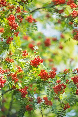 sorbus: Rowan berries on a tree in summer Stock Photo