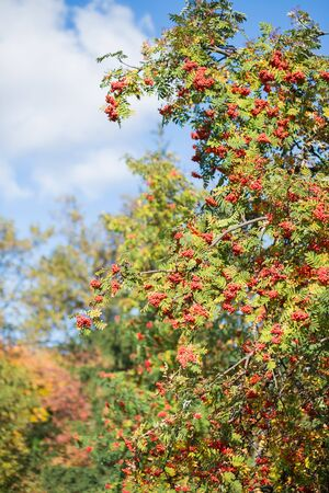 european rowan: Rowan berries on a tree in summer Stock Photo