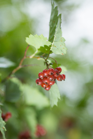 guelder rose berry: Viburnum in the garden also useful, honey, medicinal and edible plant