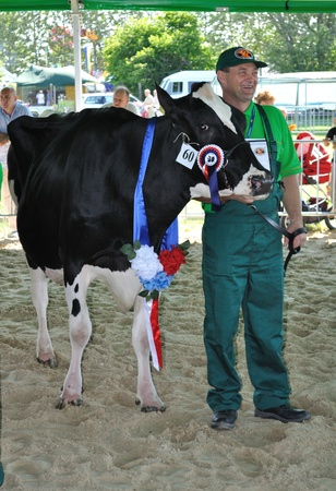 Plonsk, Poland - June 12, 2010 - Prize winning cow with their owner competing at a cattle show, during the 11th Masovian Agriculture Days.