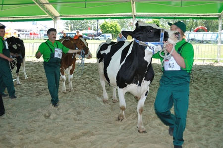 Plonsk, Poland - June 12, 2010 - Dairy cows with their owners compete at a cattle show, during the 11th Masovian Agriculture Days. Stock Photo - 9272076