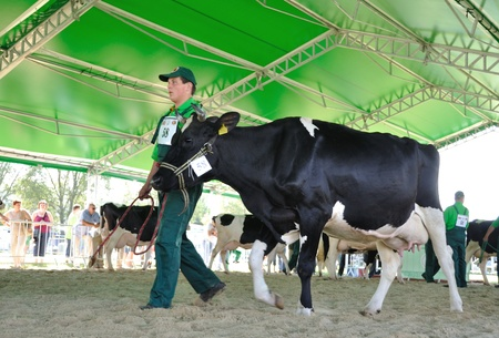 Plonsk, Poland - June 12, 2010 - Dairy cow with their owner compete at a cattle show, during the 11th Masovian Agriculture Days. Stock Photo - 9272024