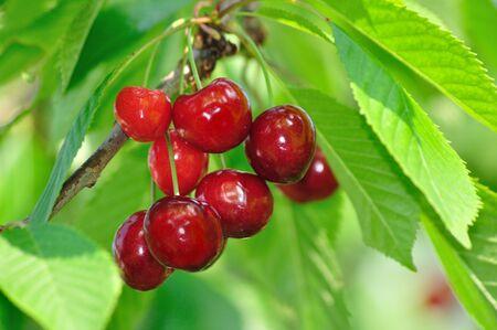 Cherry fruit op de tak