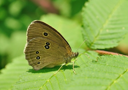 Ringlet butterfly (Aphantopus hyperantus) on the Winged Sumac leaves.