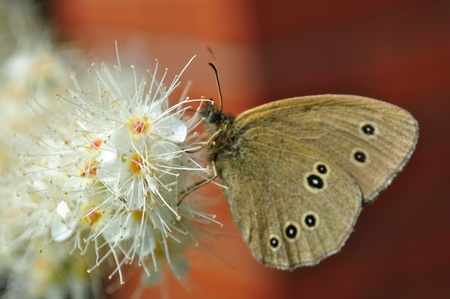 Ringlet butterfly (Aphantopus hyperantus) on the Winged Sumac flowers. Stock Photo - 9635885
