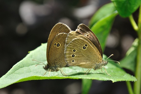 aphantopus: Ringlet butterflies (Aphantopus hyperantus) in mating ritual. Stock Photo