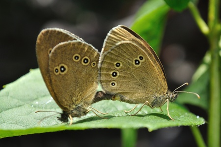 hyperantus: Ringlet butterflies (Aphantopus hyperantus) in mating ritual. Stock Photo