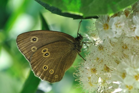 hyperantus: Ringlet butterfly (Aphantopus hyperantus) on the Winged Sumac flowers.