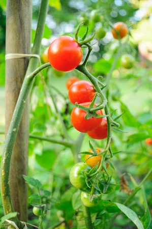 Cherry tomatoes growing on the vine. Stock Photo