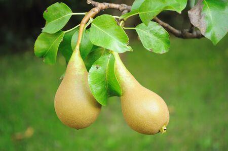 Pears Stock Photo - 9684374