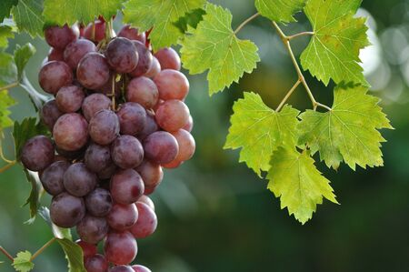 table grapes on the vine.