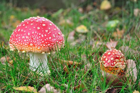 Amanita muscaria, commonly known as the fly agaric or fly Amanita is a poisonous and psychoactive basidiomycete fungus.  photo