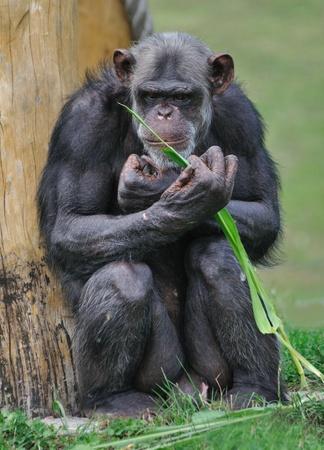 chimpansee in de dierentuin