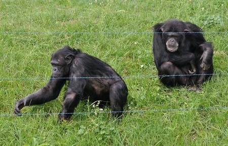 chimpances: chimpanc�s en el zool�gico Foto de archivo