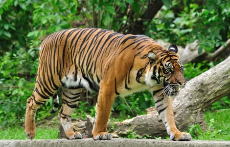 Sumatran tiger Stock Photo - 10364039