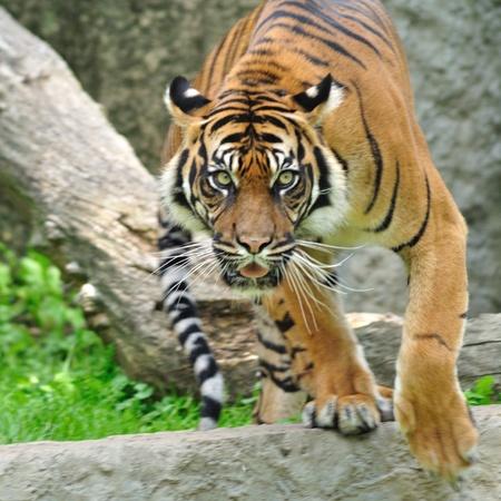 tigre blanc: Tigre de Sumatra Banque d'images