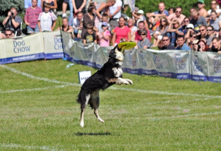 Warsaw, Poland - September 4, 2011 - Border collie dog catching a frisbee in air at the Dog Chow Disc Cup. Stock Photo - 13887277