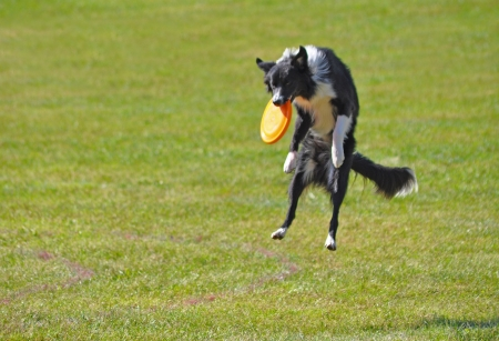 Warsaw, Poland - September 4, 2011 - Border collie dog catching a frisbee in air at the Dog Chow Disc Cup.