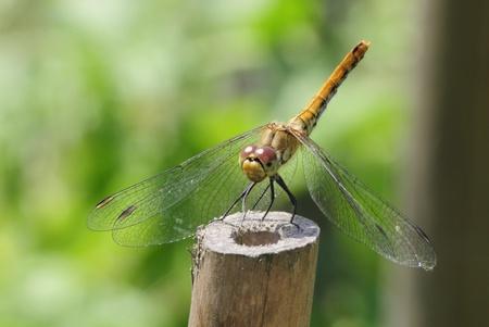 vulgatum: The Vagrant Darter  Sympetrum vulgatum  - European dragonfly
