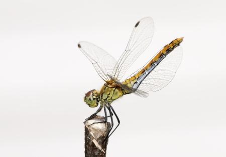 sympetrum vulgatum: The Vagrant Darter  Sympetrum vulgatum  - European dragonfly