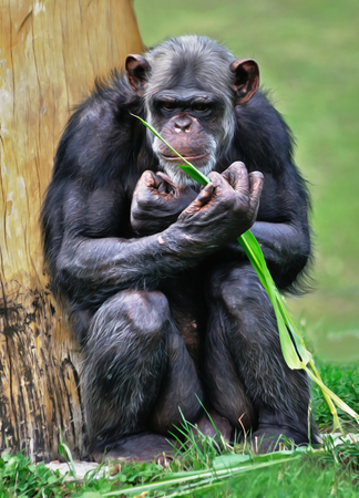 simia troglodytes: Aged chimpanzee sitting at the tree