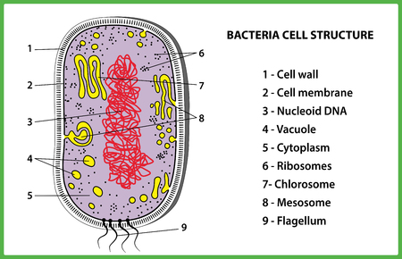 Bacterial cell structure on white background - vector illustration.