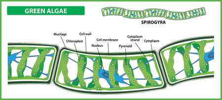 Spirogyra structure. Filamentous green algae on white background. Vector illustration.