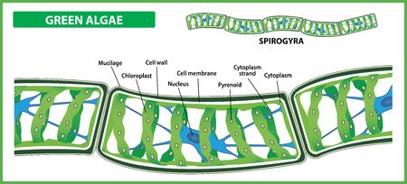 Structure de Spirogyre. Algues vertes filamenteuses sur fond blanc. Illustration vectorielle.