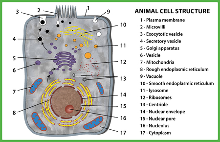 Animal cell structure on white background - vector illustration.