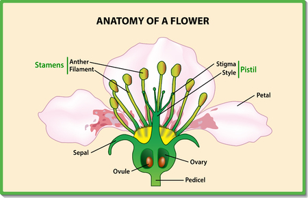 Anatomy of a flower. Flower Parts. Detailed Diagram with cross section. Useful for study botany and science education. Vector illustration