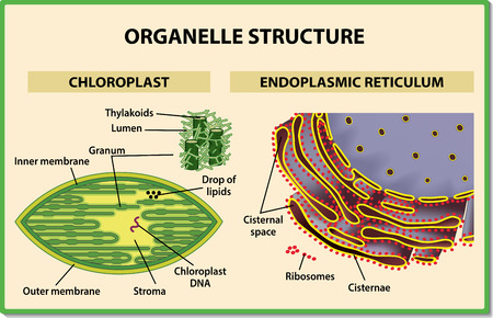 Cell organelles structure. Chloroplast and Endoplasmic reticulum - Vector illustration.