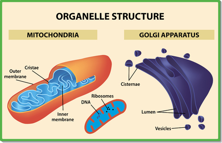 Cell organelles structure. Mitochondria and Golgi apparatus - Vector illustration.