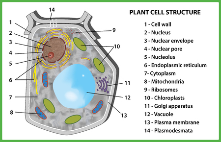 Plant cell structure on white background - vector illustration.