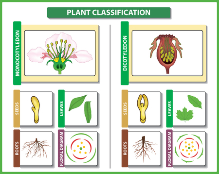 Plant classification. Monocots vs Dicots - difference and comparison. Useful for study botany and science education. Vector illustration Illustration