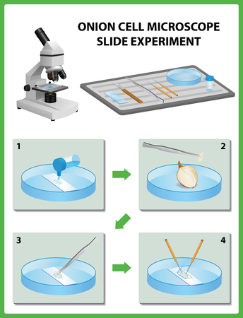 Microscopy. Onion Cell Microscope Slide Experiment. Vector illustration