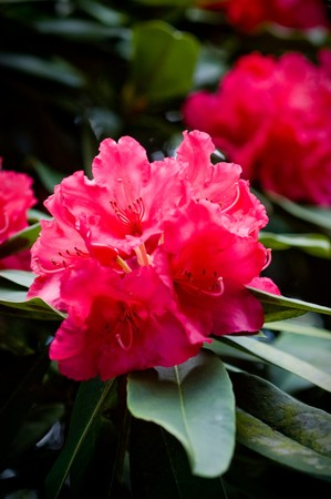 Close up of Rhododendron ponticum