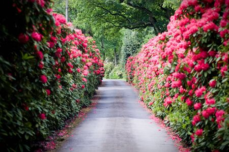 A colourful road lined with Rhododendron