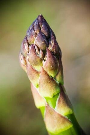 british cuisine: Close up of a single Asparagus Spear