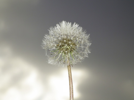 Dandelion and cloudy sky photo