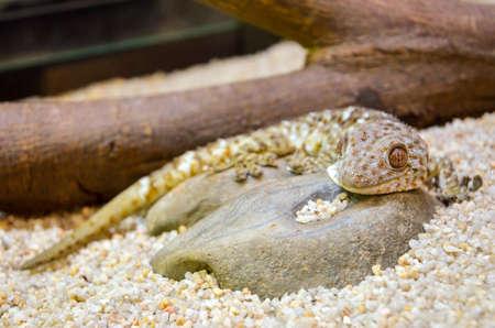 neighbouring: tokay gecko