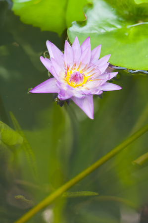 A beauty blooms on a pond.