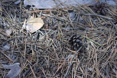 pine cone on dry needles