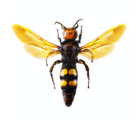 ジガバチ。Scoliidae 写真素材 - 35148734