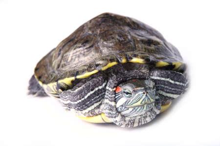 fisher animal: turtle