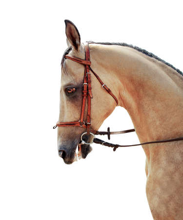 Akhal-Teke horse half-face on a white background